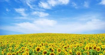 hình cánh đồng hoa tuyệt đẹp