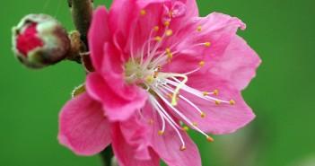 tải ảnh nền về hoa đào đẹp