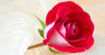 tải hình ảnh hoa hồng đẹp