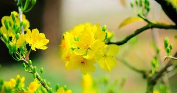 tải ảnh hoa mai đẹp