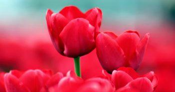 hình nền hoa tulip đẹp nhất full hd