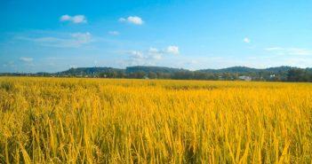 Hình nền đẹp cánh đồng lúa