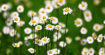 Hình nền hoa cỏ dại đẹp