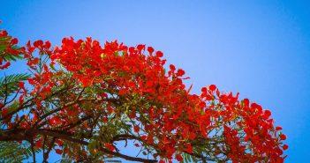 Hình ảnh đẹp của hoa phượng