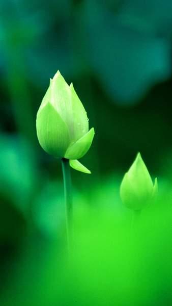 Tải hình nền hoa đẹp cho điện thoại, hình nền sắc nét