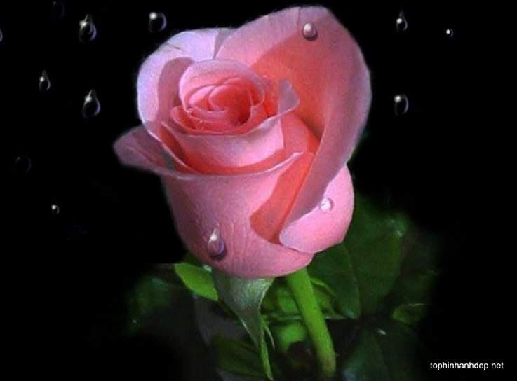 99 bó hoa hồng đẹp tặng người yêu ngày valentine 14 – 2