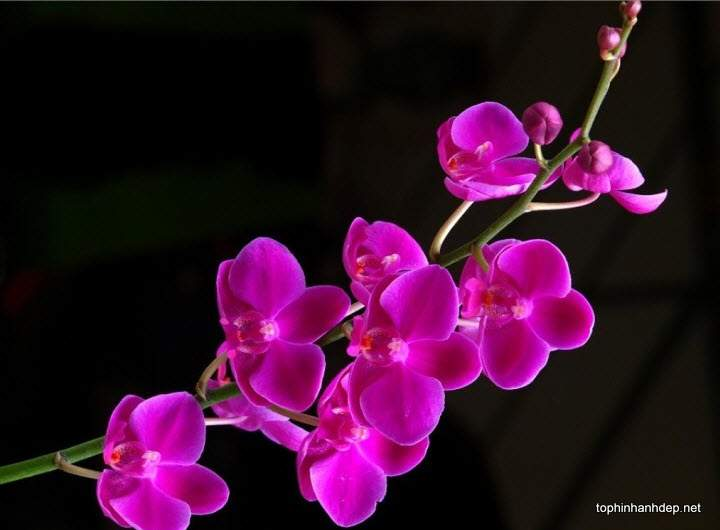35 hình ảnh hoa lan tím đẹp, ý nghĩa của phong lan tím
