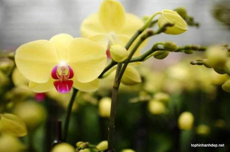50 hình ảnh hoa phong lan hồ điệp đẹp và ý nghĩa của nó