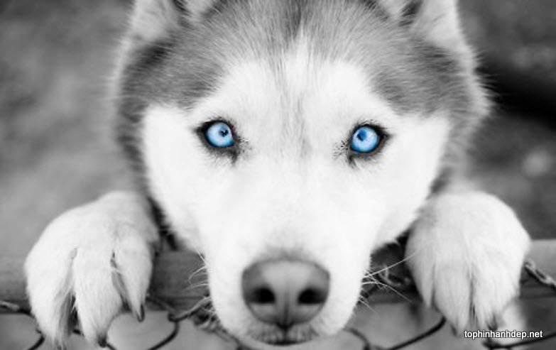 30 hình ảnh chó husky đẹp và dễ thương nhất hiện nay