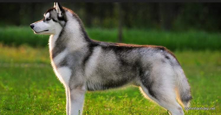 husky-xam (4)