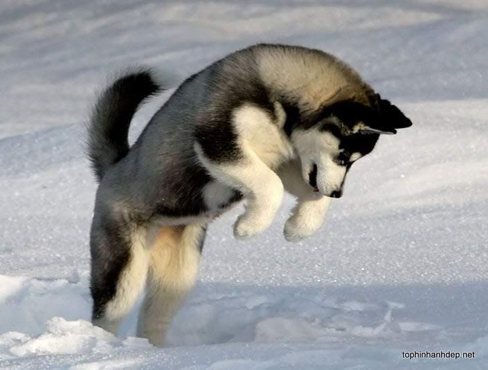 husky-xam (5)