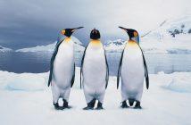hình ảnh chim cánh cụt dễ thương nhất