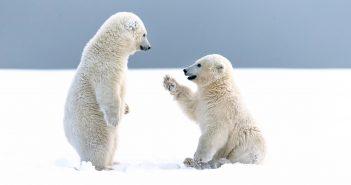 Hình nền gấu bắc cực đẹp dễ thương