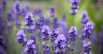 Hình ảnh hoa oải hương đẹp