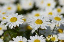 hình ảnh hoa cúc đẹp